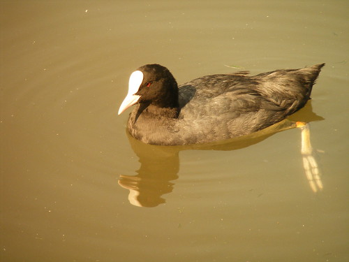 A HOT AND SUNNY DAY FOR DUCK TO SWIM IN EAST PARK IN HULL
