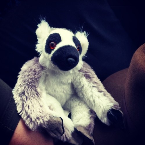 #home with a new #friend #ringtailedlemur