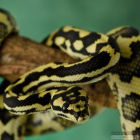 Jungle/Jaguar Sibling Carpet Python | Flickr - Photo Sharing!