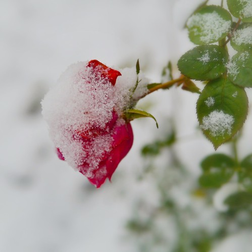 Snow rose. by Fitzrovia