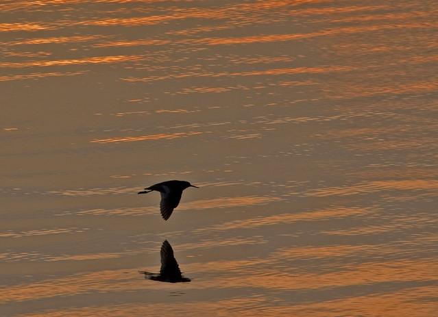 Redshank at Sunset