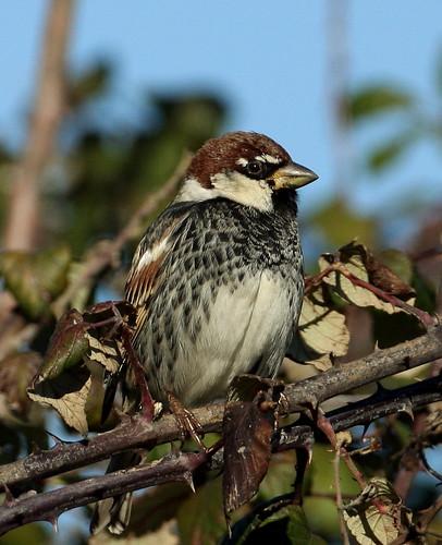 2011_02_02 PO - Spanish Sparrow (Passer hispaniolensis) 01