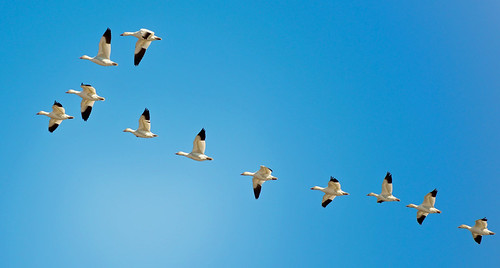 JRWR: Snow Geese in Formation