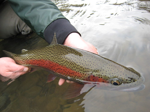 Wild McKenzie River Rainbow Trout