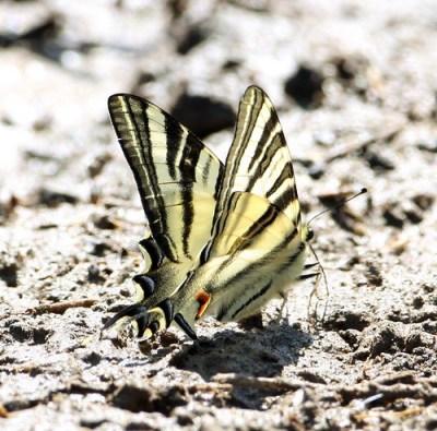 2011_03_31 AL - Scarce Swallowtail (Iphiclides podalirius feisthamelii) 01