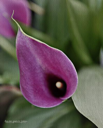 Purple Cala