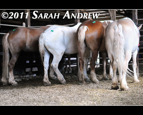 Very Important Draft Horse Meeting