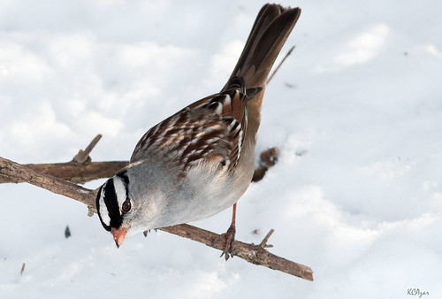White-crowned Sparrow, mature by Kelly Colgan Azar