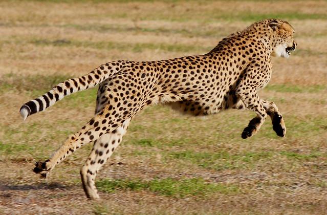 Cheetah Run 4