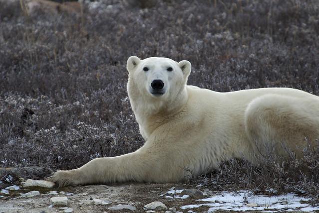 Polar Bear 05
