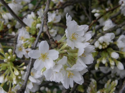 white cherry flowering blossoms