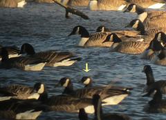 Cackling Goose - Loantaka Brook Reservation, Morris Township, Morris County, NJ 2-19-2011