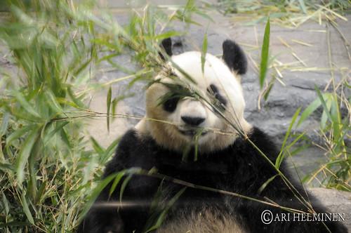 The Giant Panda Ueno Zoo 恩賜上野動物園, Tokyo Japan 東京 日本