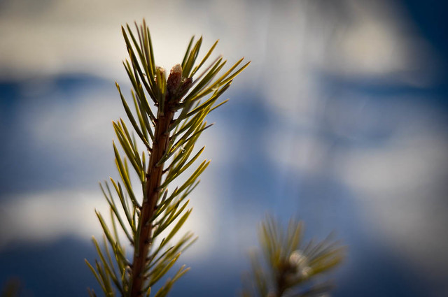 Sprouting pine