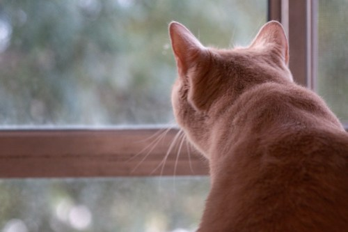 Tan cat looking out window from behind