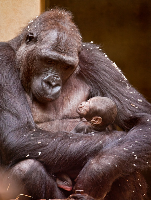 Mother gorilla with baby