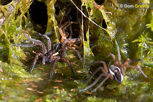 Male raft spider approaches female