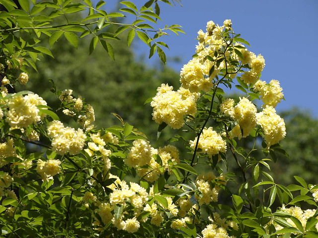 4110263 Yellow Climbing Flowers  Flickr  Photo Sharing