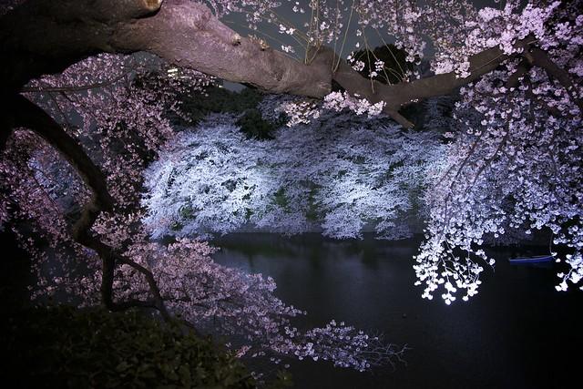 Cherry Blossom at Night | Flickr - Photo Sharing!