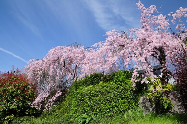 2014 京都的景點-鴨川賞櫻 @ 波哥去吧 PorkTrip :: 痞客邦