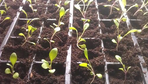 Cineraria 'Martima Silverdust' seedlings