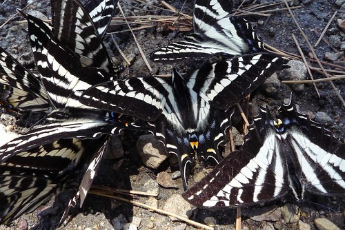 puddling swallowtails