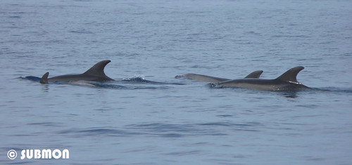 Delfines mulares (Tursiops truncatus)