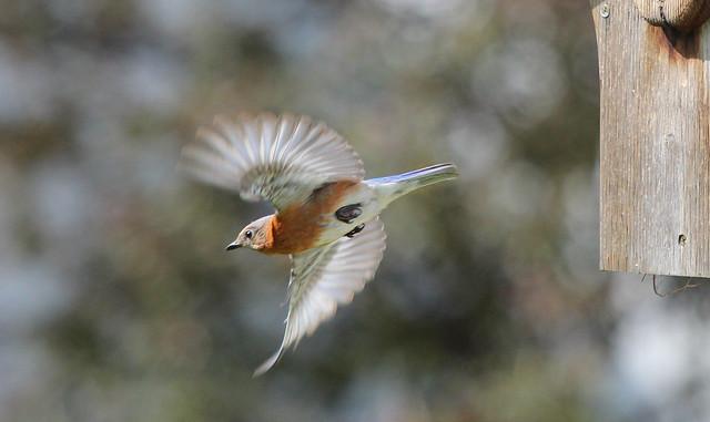 05/08/12 - Female Bluebird