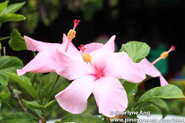 Flowers at Sanctuary Garden Resort in Magdiwang, Sibuyan