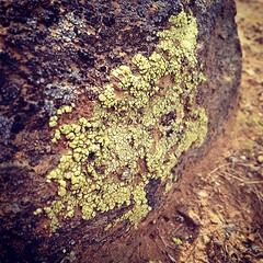 Arizona Lichen