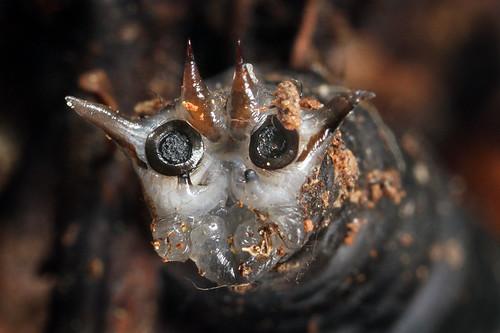 cranefly larva posterior