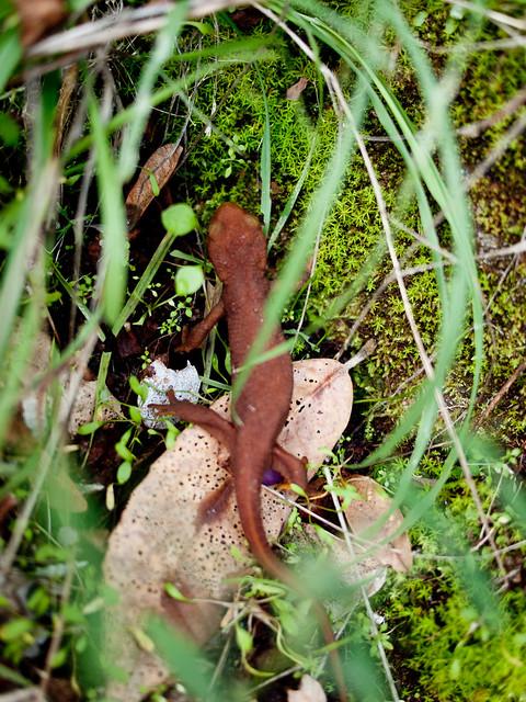 Salamander, Ventana Wilderness, California