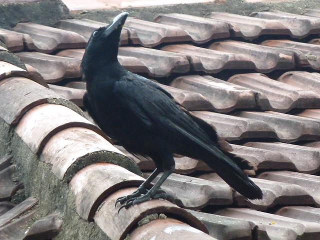 Image result for image crow on roof