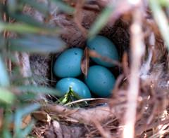 dunnock's nest