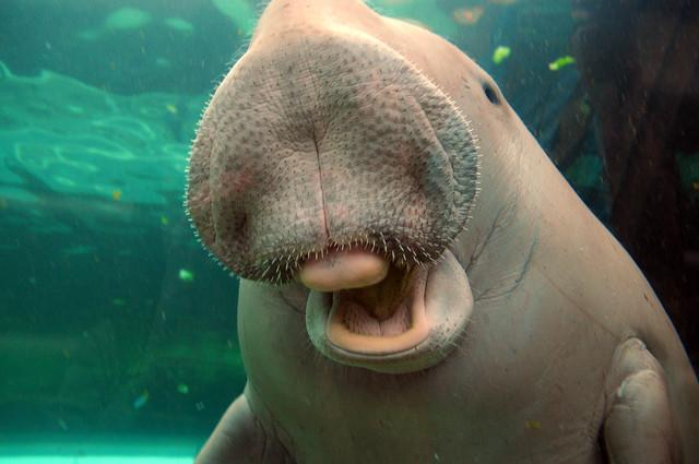 Cute Baby Dolphin Wallpaper Nik 4453 Laughing Manatee Flickr Photo Sharing