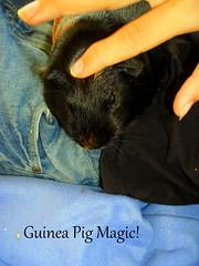 guineapigmagic2