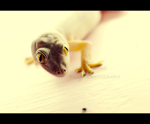Balli - Lizard macro by Rajanna @ Rajanna Photography