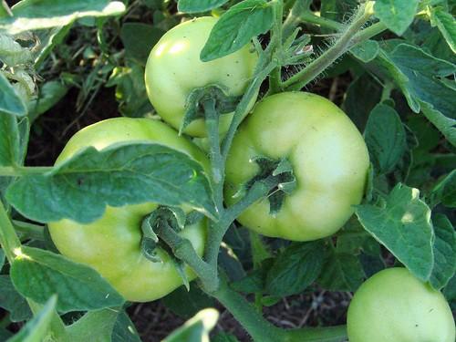 TomatoesGreen