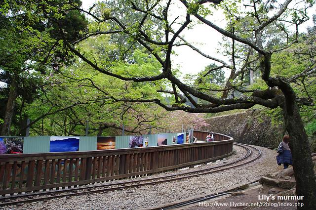 這裡就是許多人會取景拍小火車的地方,上週櫻花盛開,這裡拍起來更美了。