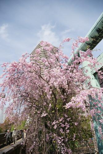 住吉神社のしだれ桜