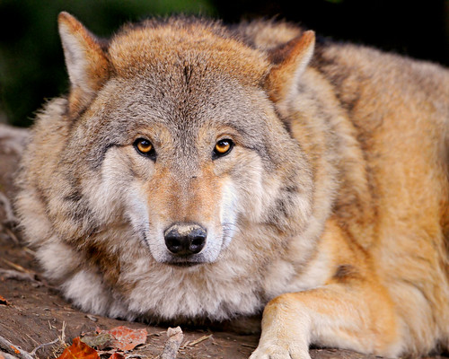 Serious, relaxed and fluffy wolf