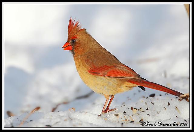1D MK IV Laval 03jan, Cardinal femelle