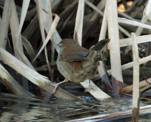 2011_02_02 PO - Cetti's Warbler (Cettia cetti) 02