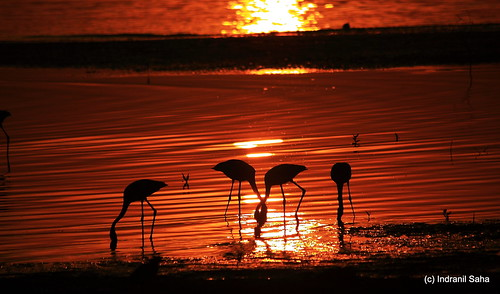 Flamingo Sunrise by Indro Images