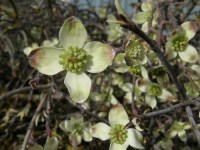 flowering dogwood wholesale branches