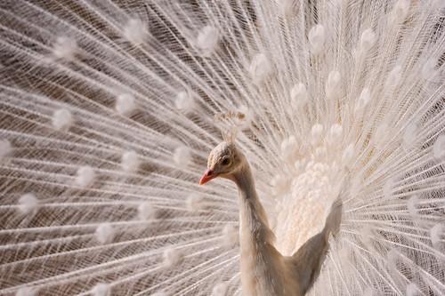 White peacock again