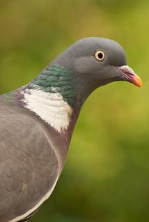 Wood Pigeon by Marc Davison, on Flickr