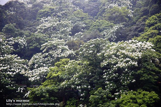 翠綠的樹林上面點綴著點點白花,增添了許多浪漫的氣息。