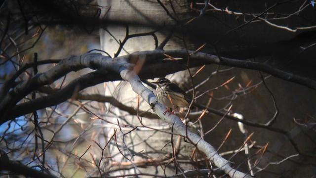 91. Louisiana Waterthrush - Delaware - IMG_4368