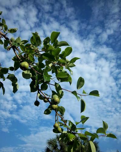 pears!